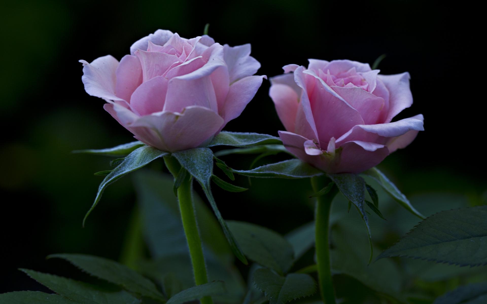 Картинки Розы, цветы, лепестки, бутоны фото и обои на рабочий стол