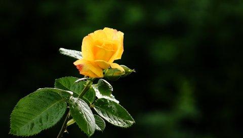 Роза, цветок, лепестки, капли, бутон, стебель