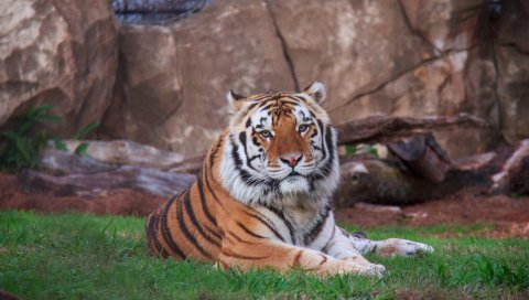 Сибирский тигр, лежащий, хищник