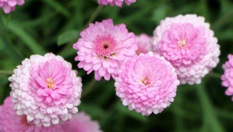 Хризантемы, цветы, розовые