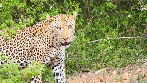 Леопард, гепард, хищник, взгляд