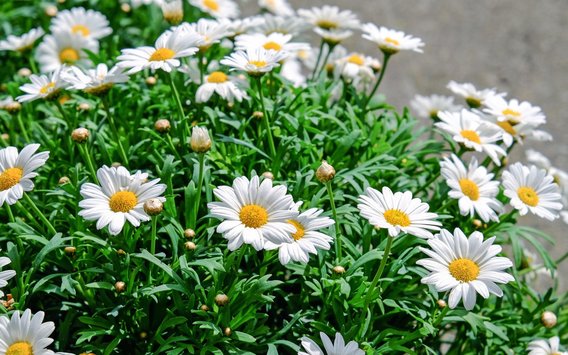 наращивания ногтей искать картинки цветы ромашка что