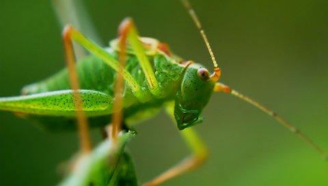 Кузнечик, насекомое, макрос, усы