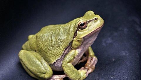 Лягушка, амфибия, зеленая