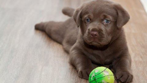 Лабрадор, щенок, мяч, игривый