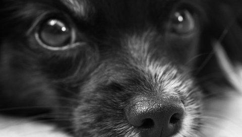 Собака, лицо, глаза, bw