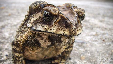 жабы, лягушки, амфибии