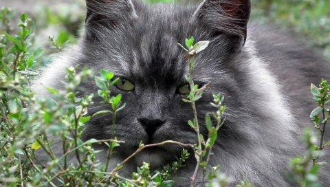 кошка, лицо, пятнистая, пушистый