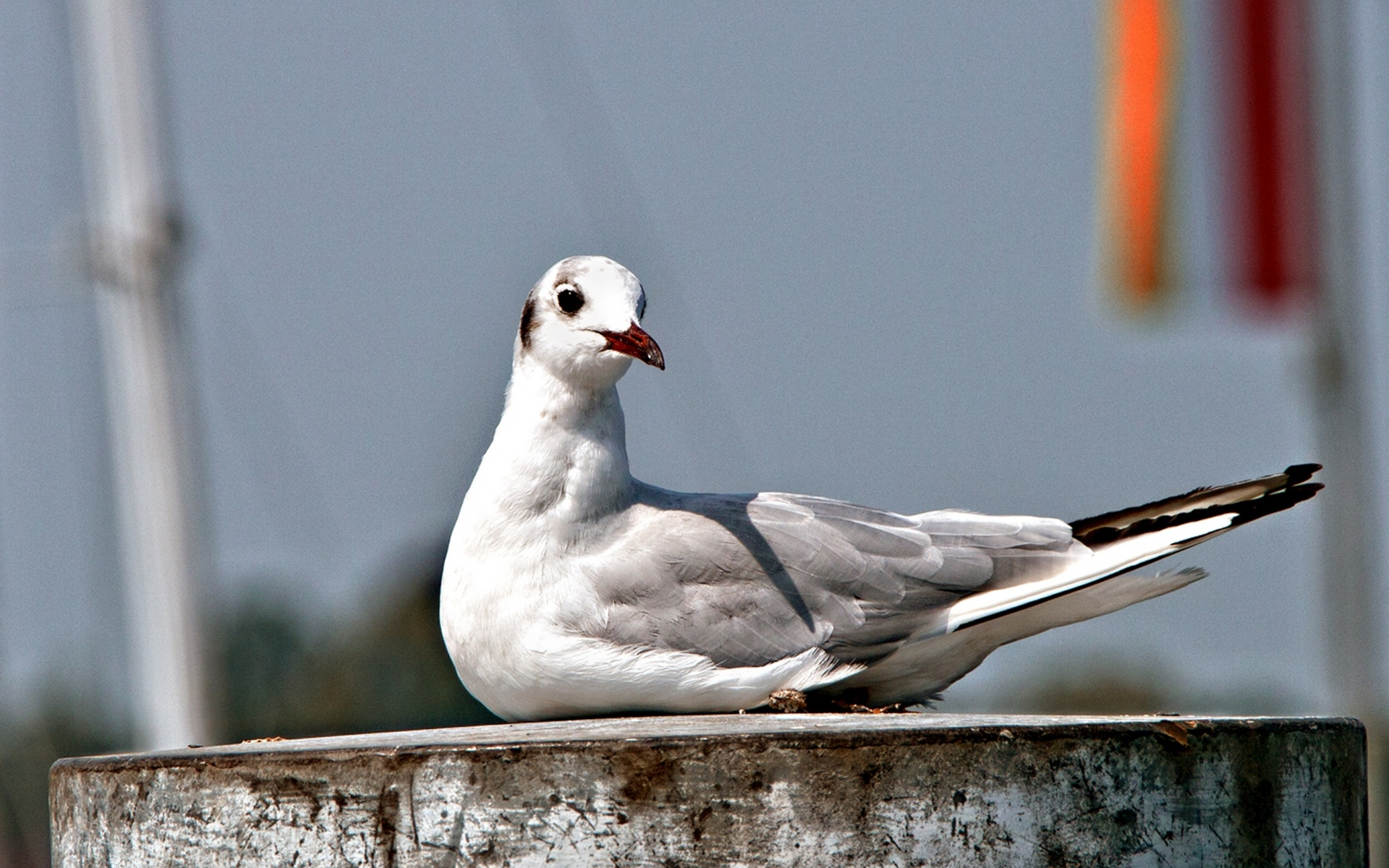 Картинки чайка, птица, сидя, клюв фото и обои на рабочий стол