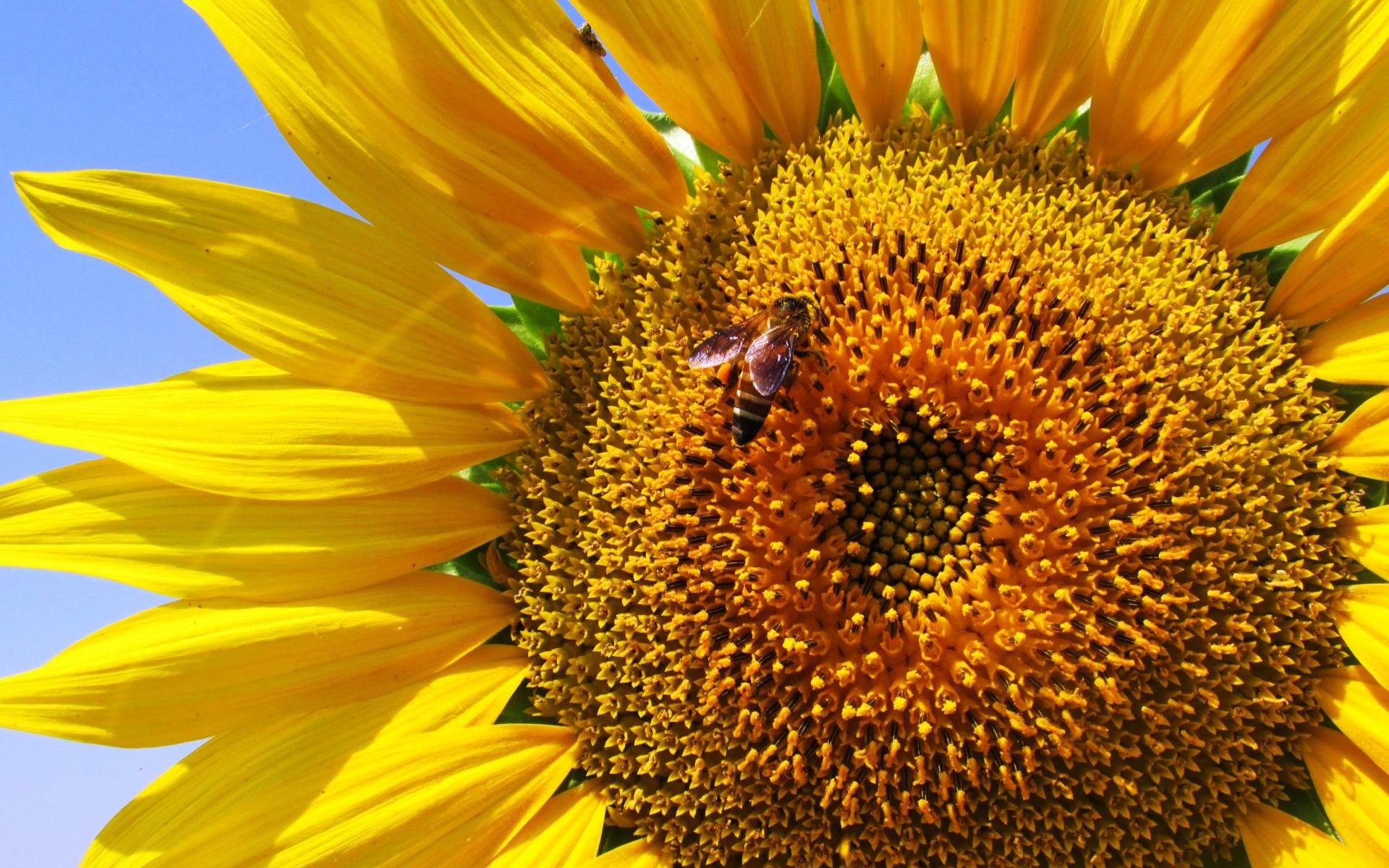 Картинки Подсолнечник, лепестки, пчела, опыление фото и обои на рабочий стол