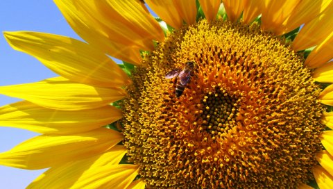 Подсолнечник, лепестки, пчела, опыление