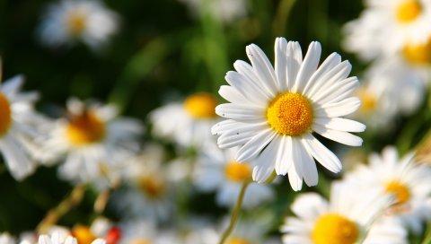 Ромашки, цветы, поле, размытость