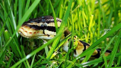Змея, трава, рептилия