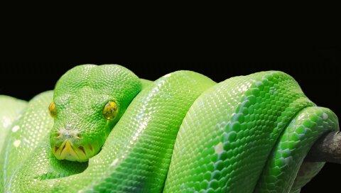 Змея, питон, хищник, рептилия