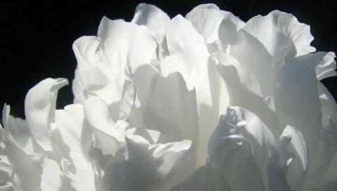 Роза, цветок, лепестки, тень