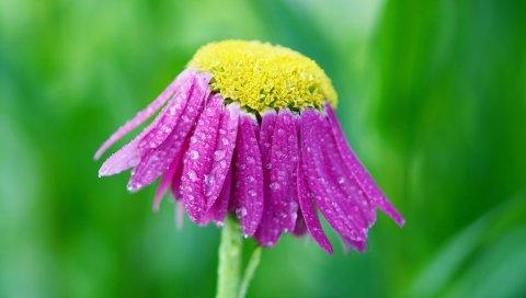 Цветок, капли, лепестки