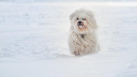 Havanese собака, снег, зима, бег