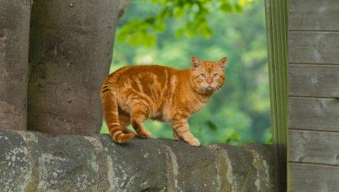 Кот, рыжий, полосатый, испуганный