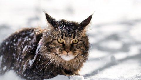Мейн-кун, кошка, пушистый, снег