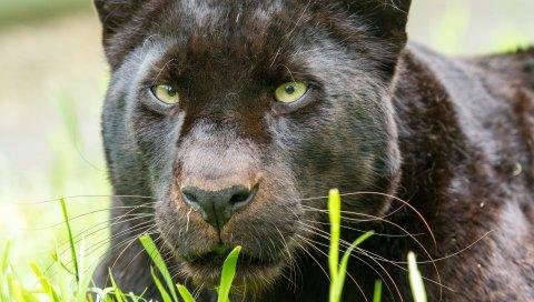 пантера, хищник, большая кошка