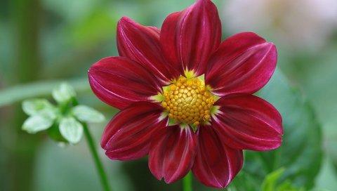 Георгина, цветок, лепестки, бутоны