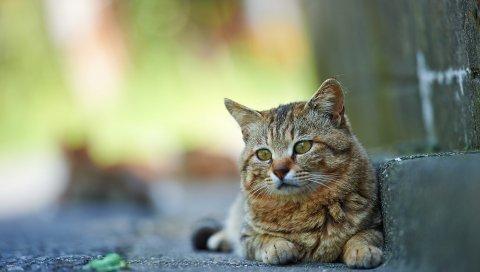 кошка, улица, прилегающая, полосатые