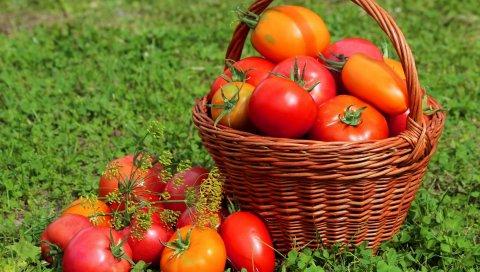Помидоры, помидор, корзина, трава