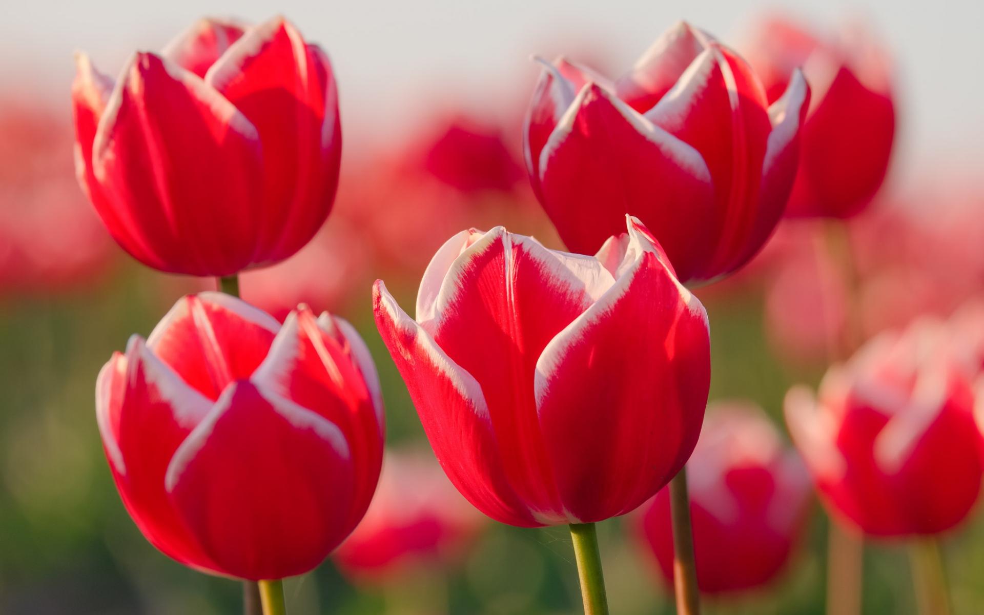 Картинки Тюльпаны, цветы, лепестки, бутоны фото и обои на рабочий стол