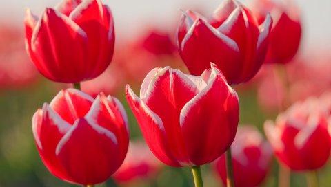 Тюльпаны, цветы, лепестки, бутоны