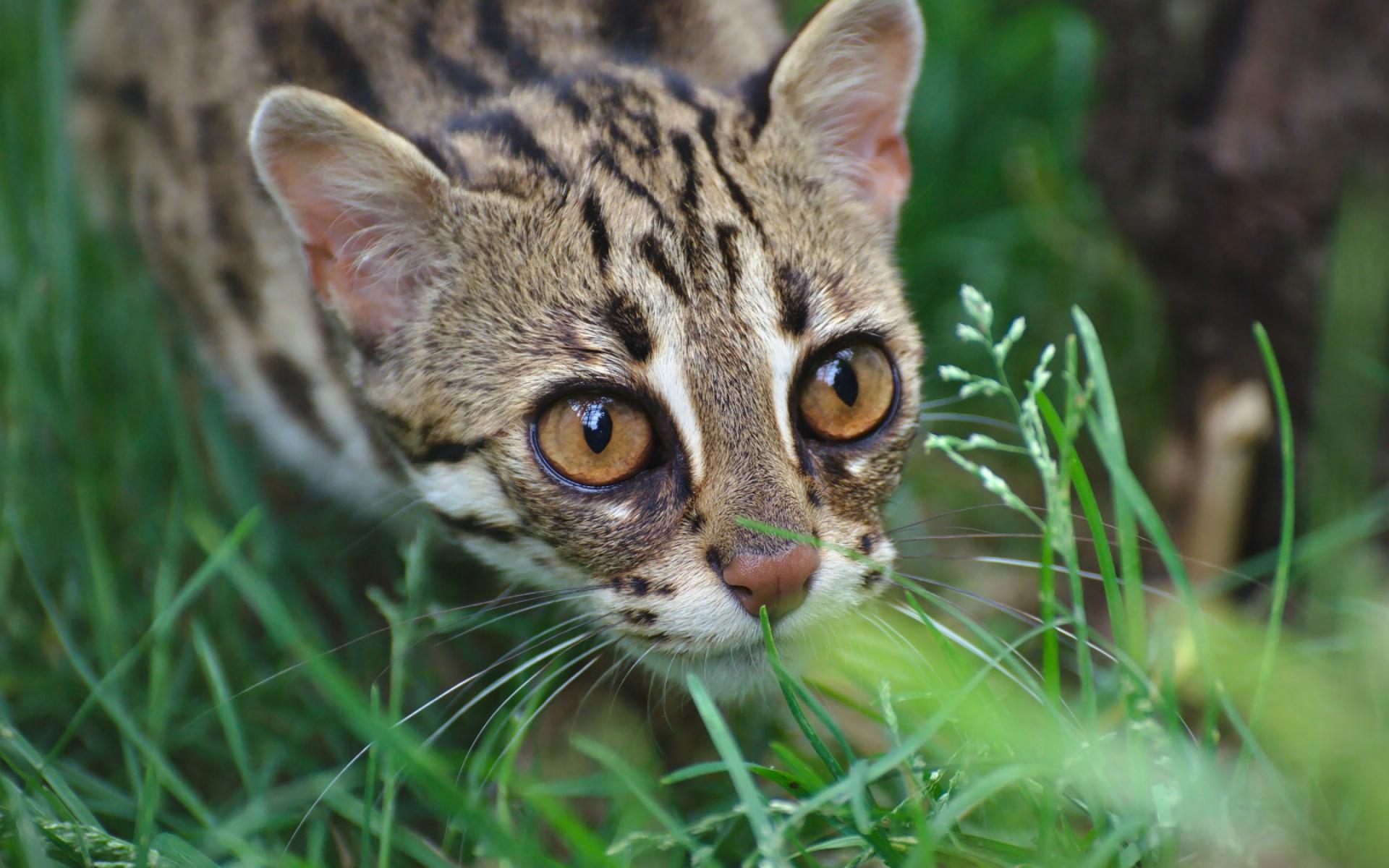 Картинки Оцелот, дикая кошка, леопард, морда, трава фото и обои на рабочий стол