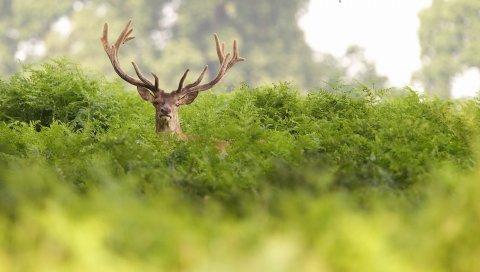 Олень, трава, скрыть, рога