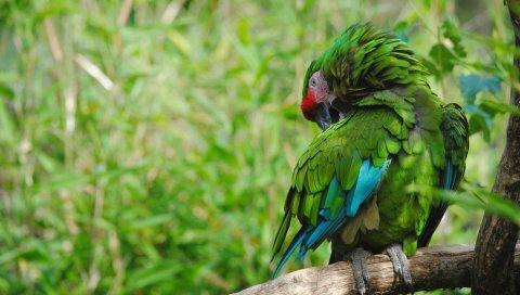Попугай, птица, цвет, перья, зеленый