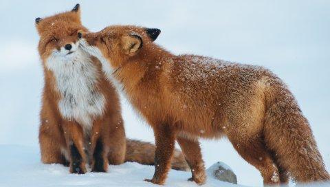 лиса, пара, снег, зима, не заботиться
