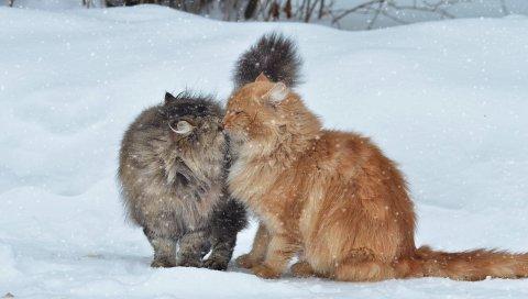 Кошки, пара, снег, зима, поцелуй