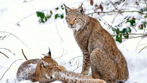 Рысь, пар, снег, хищники