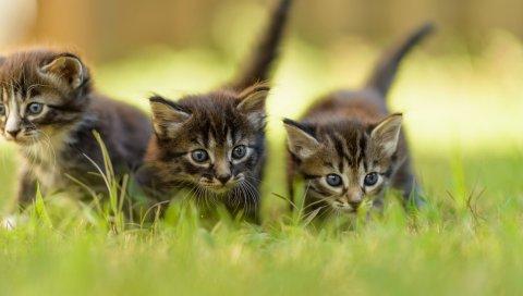 котята, трава, три, ходьба, кошки, кошки, котята