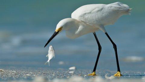 цапля, рыба, птица, пляж