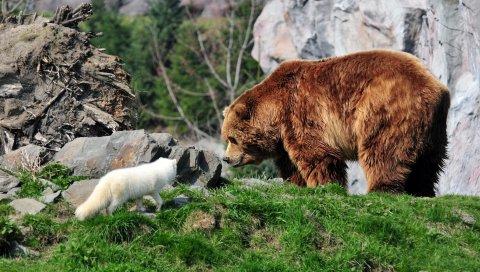 Медведь, медведь гризли, песец, трава, скалы