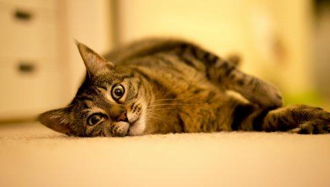 Кошка, ложь, толстая, полосатая
