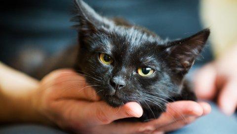 Котенок, морда, черный, глаз, рука