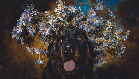 Собака, выступающий язык, лицо, цветы, венок