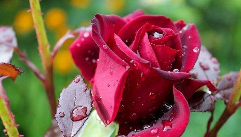Роза, капли, макро, роса, бутон розы