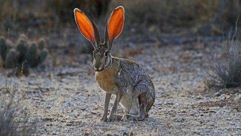 Кролик, уши, трава, свет