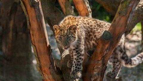Леопард, дикая кошка, плотоядное животное, кубик, пятна, лес