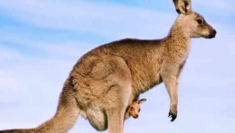 кенгуру, ребенок, фон, профиль