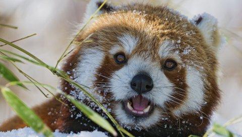 Красная панда, меньшая панда, трава, морда