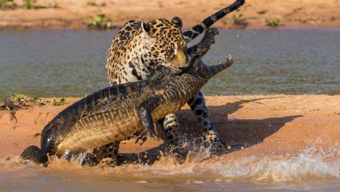Крокодил, ягуар, охота, добыча, пляж
