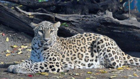 Леопард, большой кот, хищник, пятнистый