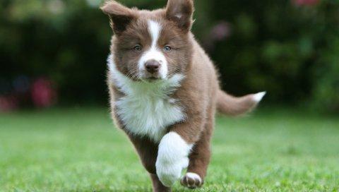 Пограничный колли, щенок, бег, трава