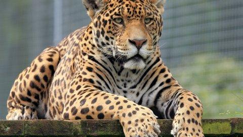 леопард, морда, большая кошка, глаз, хищник
